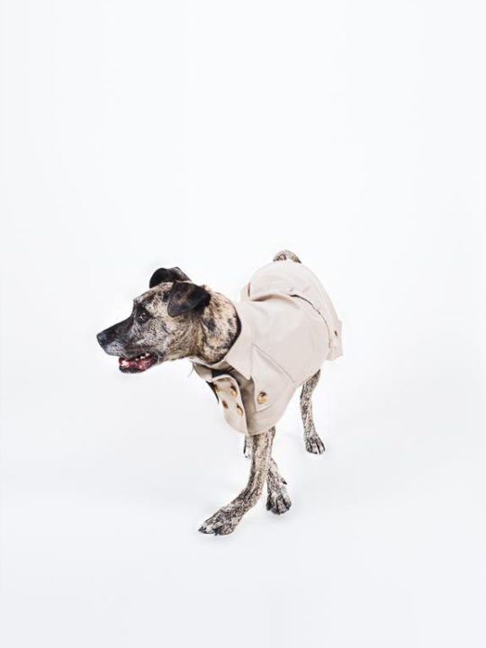 American Staffordshire Terrier wearing a tailored coat