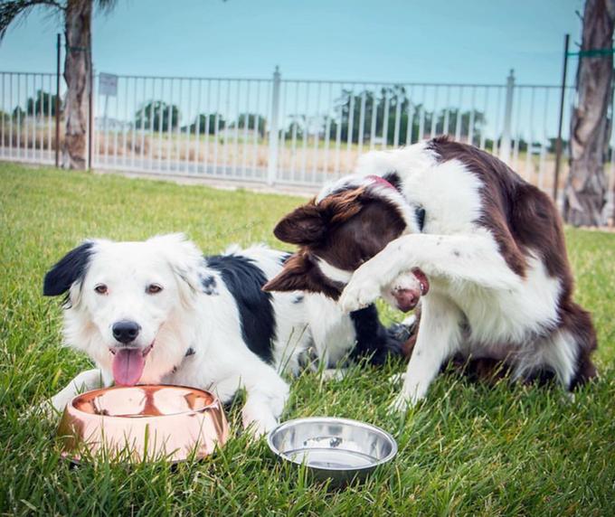 SuperCollies love their Copper Dog Bowls © CuBowls