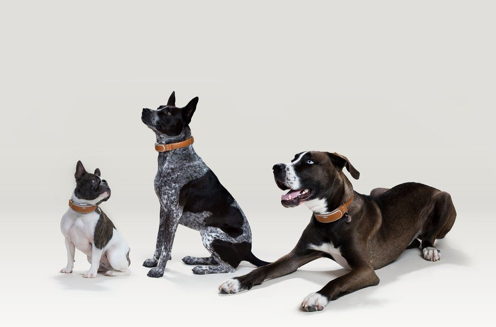 Dogs of different sizes wearing the Link AKC Smart Collar