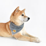 Shiba Hoku wearing the Shiba Patch on his bandana